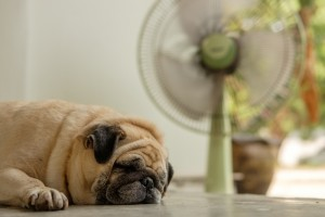 pug dog lying in a hot house with the fan on