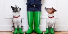 two dogs waiting to go walk in the rain with boots on
